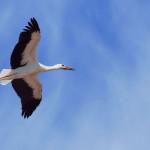 Storch Wappentier Belarus Weissrussland
