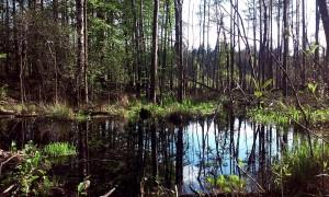 Prypjatsümpfe bei Ljaskowitschi Belarus Weissrussland