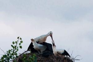 Storch der füttert Belarus Weissrussland