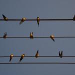 Vögel auf Stromleitung Belarus Weißrussland