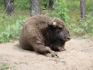 Wisent europäischer Bison Nationalpark Bialowieza Belarus Weissrussland YES