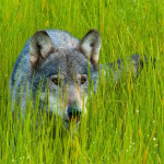 Wolf im Gras Belarus Weißrussland