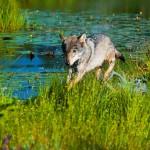 springender Wolf am See Belarus Weißrussland
