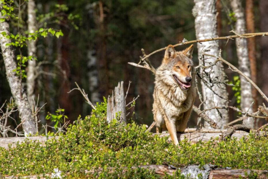 Prächtiger Wolf   Foto: Frank Meile